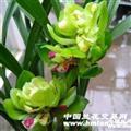 漂亮【九仙牡丹】4苗2花苞