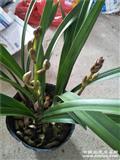 金荷5苗2花