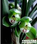 翠盖荷…4苗…清秀健康