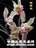 云南名品:领带花