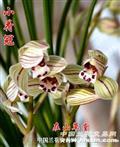 小荷冠(自然养殖4特壮苗带花)