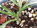 大雪山子母苗带一大芽