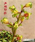 蕙兰~严州彩云(大白菜)
