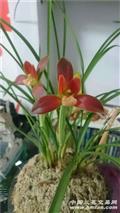 豆瓣兰《红河红》4苗带一花苞