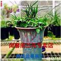 翠盖荷-2苗引种