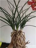 惠兰盆景草 6苗2芽3苞