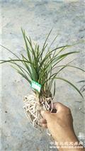 春兰棵型草,花苞多