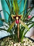 彩蓬红舌(带花)