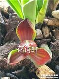 红富贵荷 1苗1芽