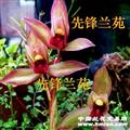 新品春剑红素【先锋红素】带花