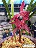 春剑中国红3苗1芽