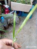 下山春兰斑草