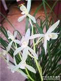 莲瓣白花素15苗