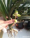玉玲珑带花