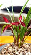 红塔宝石,带花苞现切一大仔苗,此组不带花