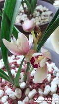 红月-1(纯阳台种植)