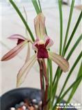 滇红素小新苗让种。