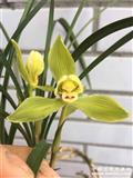 含笑金梅已开花