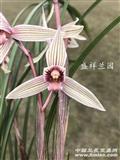 春兰-白花红素-带大芽