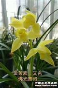 金黄素2苗-A51