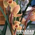 莲瓣甸阳金荷带芽引种苗带芽免费寄养