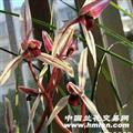 莲瓣 碧龙红素 5个头5芽