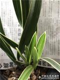 零起拍本地宽叶春兰瓷白艺稿花