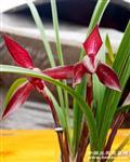 红塔宝石子母草带二芽点