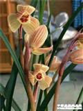 莲瓣-甸阳金荷