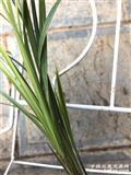 边草-S-1,3苗2开口芽1小芽