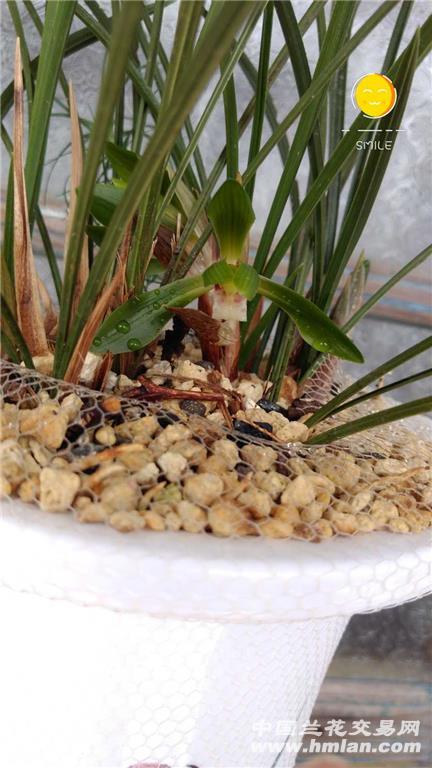 春兰豆瓣,花开一满盆