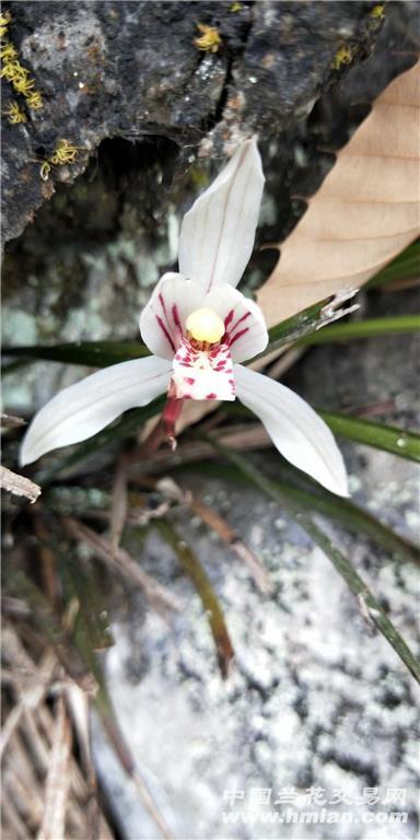 世界上唯一棵浓香豆瓣兰稀世珍品